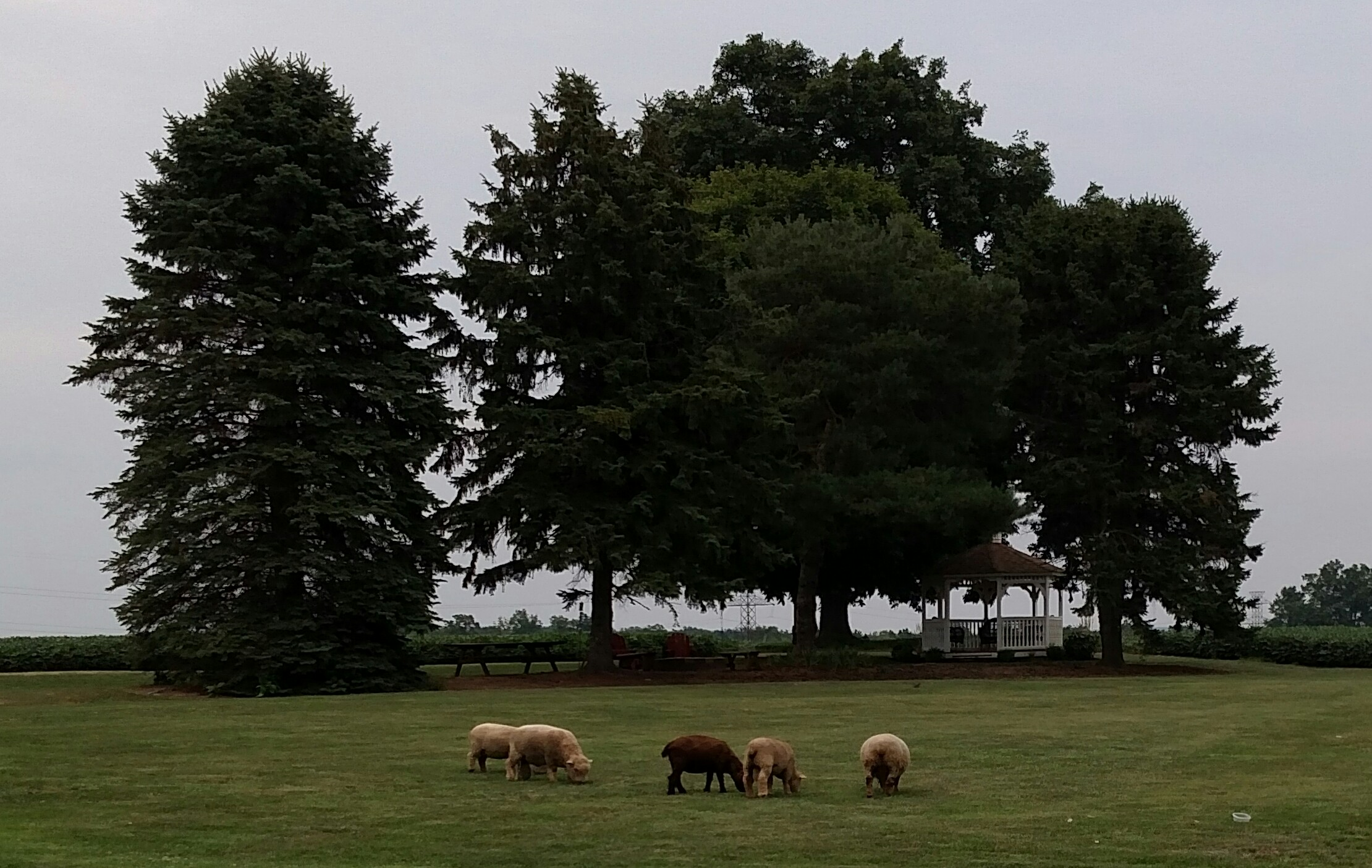 sheep grazing 4.png?1480533225117